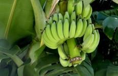 banana-288216_640
